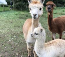 Wheatland Business Spotlight:  Ms. B-Haven's Alpacas