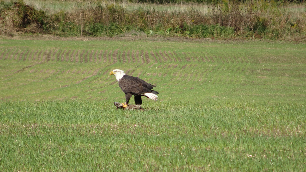 Bald Eagle Lands In Pittsford